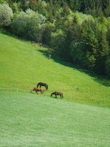 Auch kein Elch: Pferde in Norwegen.
